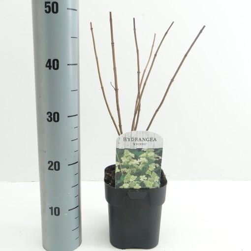 Hydrangea paniculata 'Kyushu' (Hooftman boomkwekerij)