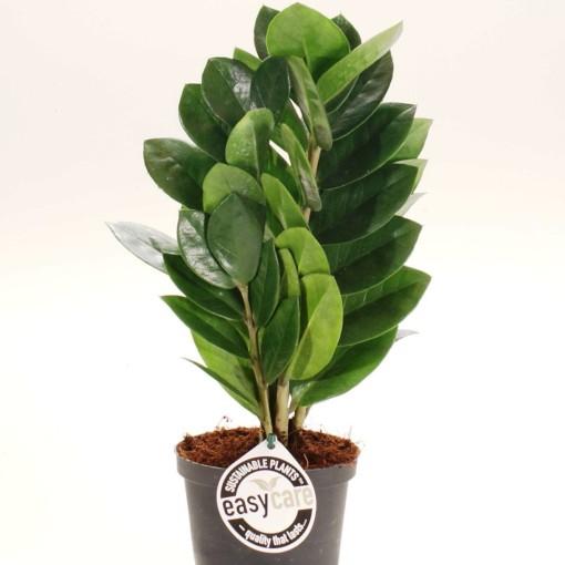 Zamioculcas zamiifolia 'Supreme' (Feldborg A/S)