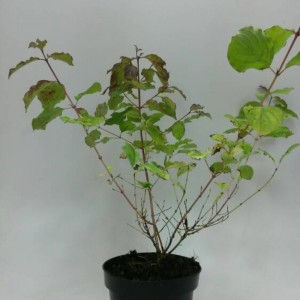Cornus sanguinea 'Winter Beauty'