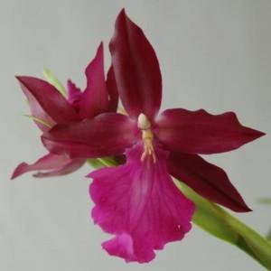 Miltonia x bluntii (Wichmann Orchideen e.K.)