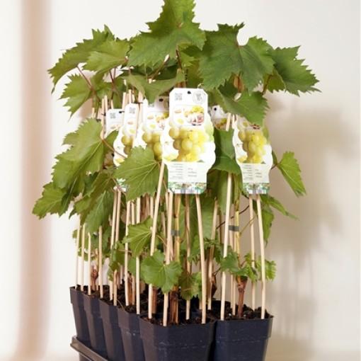 Vitis 'Himrod' (BOGREEN Outdoor Plants)