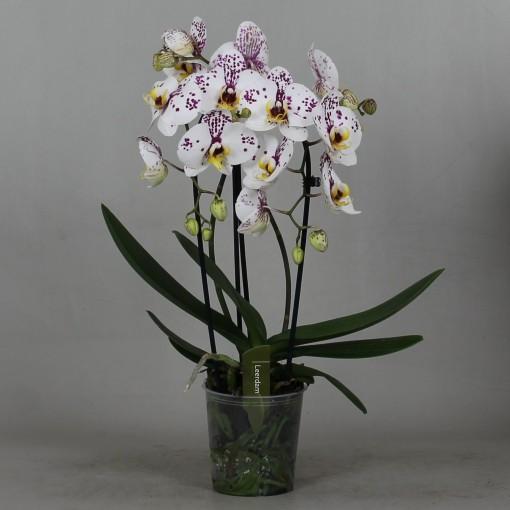 Phalaenopsis FELLINI (Leerdam Orchideeën)