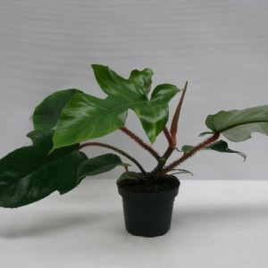 Philodendron squamiferum
