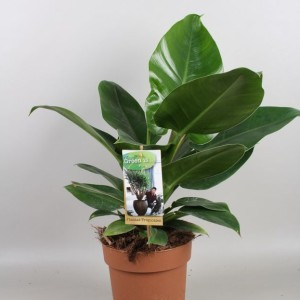 Philodendron 'Imperial Green' (Vireõ Plant Sales)
