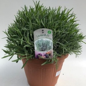Lavandula angustifolia (Green Collect Sales)