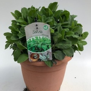 Salvia officinalis (Green Collect Sales)