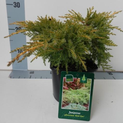 Juniperus x pfitzeriana 'Gold Star' (Koekoek Potcultures, de)