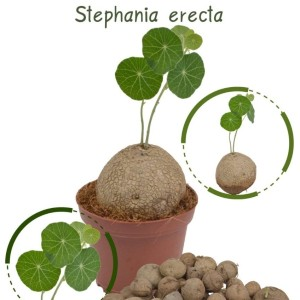 Stephania erecta (RuBa Baers)