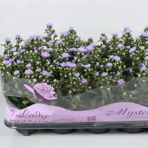 Aster MYSTERY LADY DEMI (Endhoven Flowering Plants)