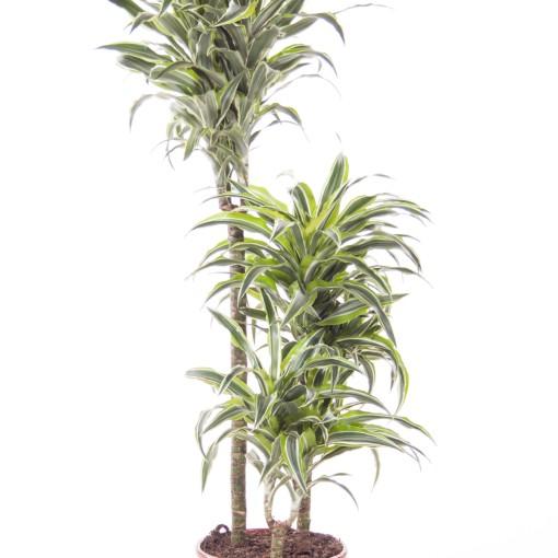 Dracaena fragrans 'Surprise' (Ammerlaan, The Green Innovater)