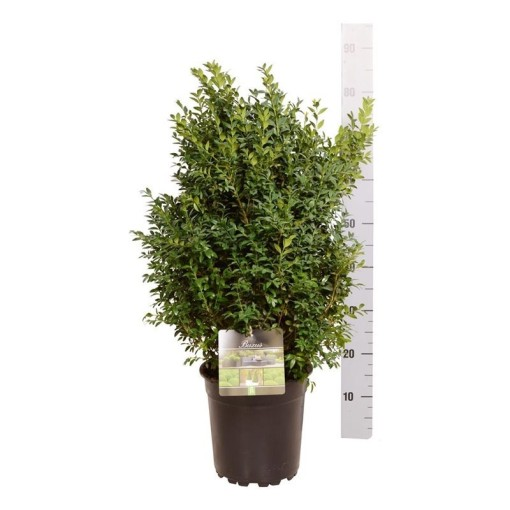 Buxus sempervirens (Boomkamp Boomkwekerijen B.V.)
