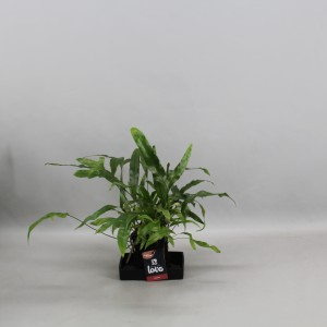 Microsorum diversifolium (Kwekerij Zeurniet)