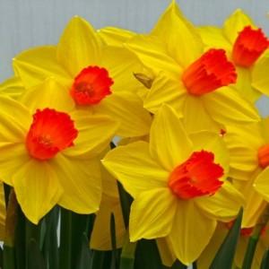 Narcissus 'Brackenhurst' (Kwekerij MJ Komen)