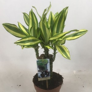 Dracaena fragrans 'Diamond Dream'