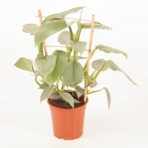 Philodendron 'Silver Queen' (Ammerlaan, The Green Innovater)