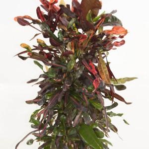 Codiaeum variegatum 'Mammi' (Ammerlaan )