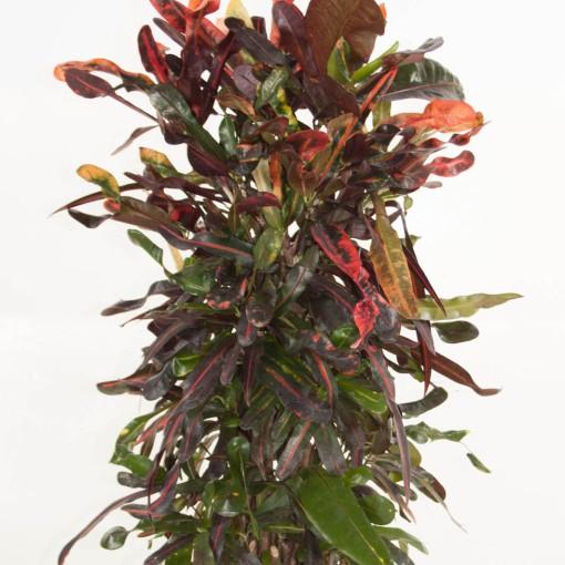 Codiaeum variegatum 'Mammi' (Ammerlaan, The Green Innovater)