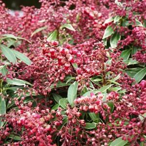 Pieris japonica POLAR PASSION (About Plants Zundert BV)