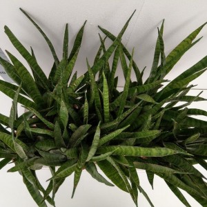 Sansevieria zeylanica 'Greenline' (RuBa Baers)