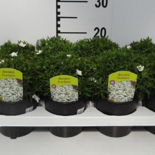 Arenaria montana (Experts in Green)
