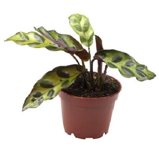 Calathea lancifolia (Gasa DK)