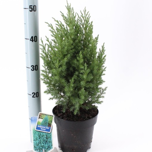 Juniperus chinensis 'Stricta' (About Plants Zundert BV)