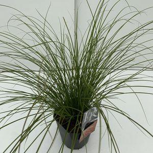 Carex testacea PRAIRIE FIRE COLORGRASS (Cammeraat Potcultuur)
