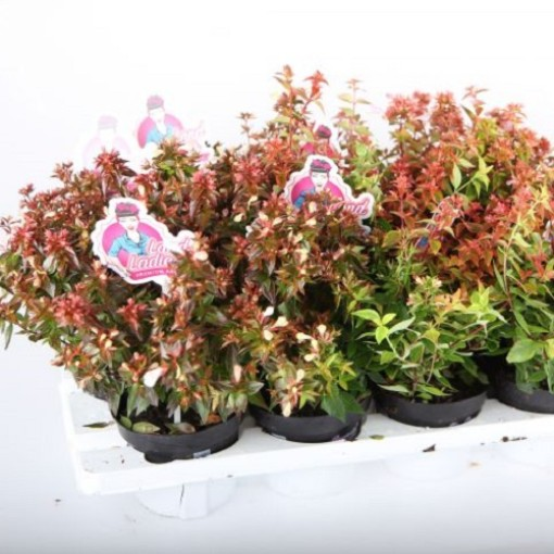 Abelia x grandiflora MIX (Experts in Green)