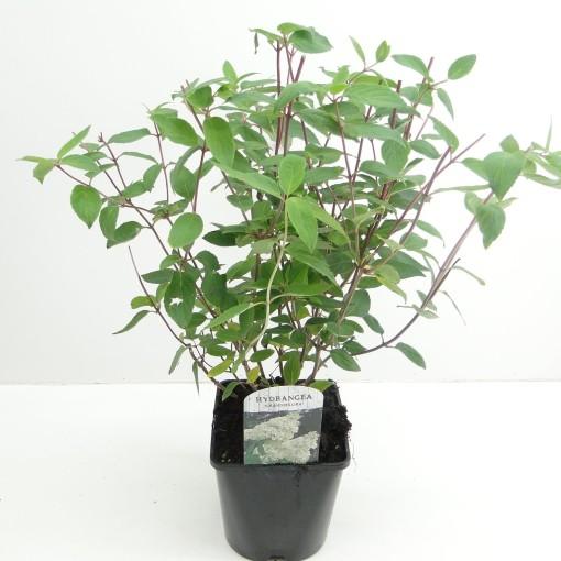 Hydrangea paniculata 'Grandiflora' (Hooftman boomkwekerij)