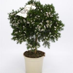 Chamelaucium uncinatum (Bunnik Plants)