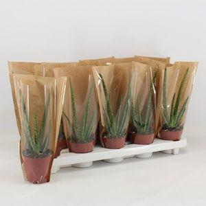 Aloe vera (Amstelzicht BV)