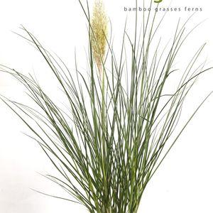 Cortaderia selloana 'Evita' (Hoogeveen Plants)