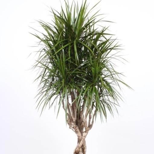 Dracaena marginata (Fachjan)