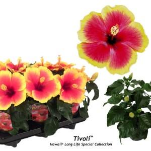 Hibiscus rosa-sinensis 'Tivoli' (Gasa DK)
