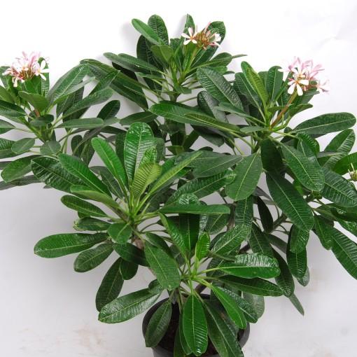 Plumeria obtusa 'Singapore Pink' (Van der Arend Tropical Plantcenter)