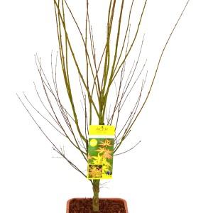 Acer palmatum 'Orange Dream' (Son & Koot BV)