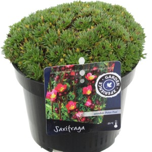 Saxifraga 'Pixi Pan Red'