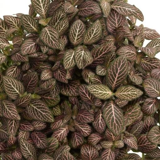 Fittonia MOSAIC MISTRAL (Schoenmakers Tropische Potcultures)