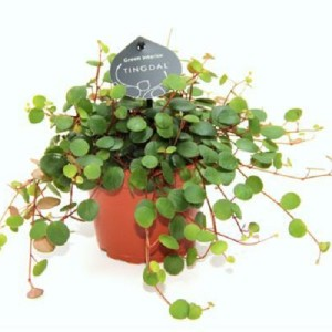 Peperomia 'Pepperspot'