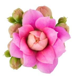 Kalanchoe blossfeldiana ROSE FLOWERS AFRICAN KISS (Queen - Knud Jepsen a/s)