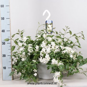 Solanum jasminoides (Gebr. Seuren Rozenkwekerijen BV)
