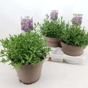 Lavandula angustifolia 'Ellagance Purple'