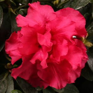 Rhododendron 'Nordlicht Vogel' (De Bruyne - Flandresse)