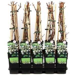 Hydrangea petiolaris (Hoogeveen Plants)