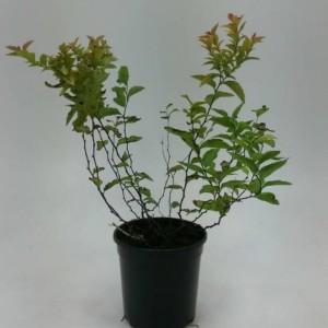 Spiraea japonica 'Firelight' (WTM de Boer)