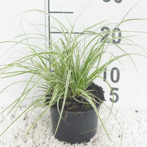 Carex oshimensis EVERCOLOR EVEREST (Experts in Green)
