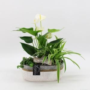 Arrangements Anthurium