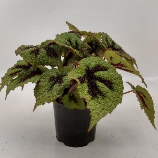 Begonia masoniana (Hofstede Hovaria)