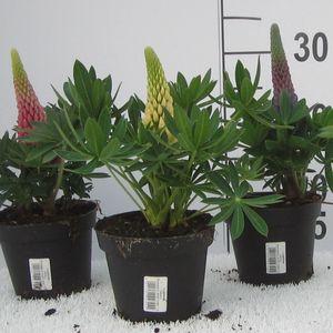 Lupinus 'Russell Hybrids MIX'