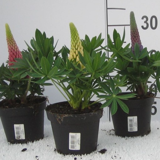 Lupinus 'Russell Hybrids MIX' (Experts in Green)